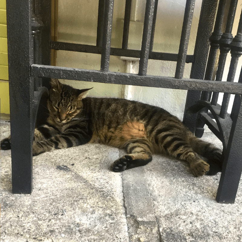 six toed cats cat at hemingways house, key west