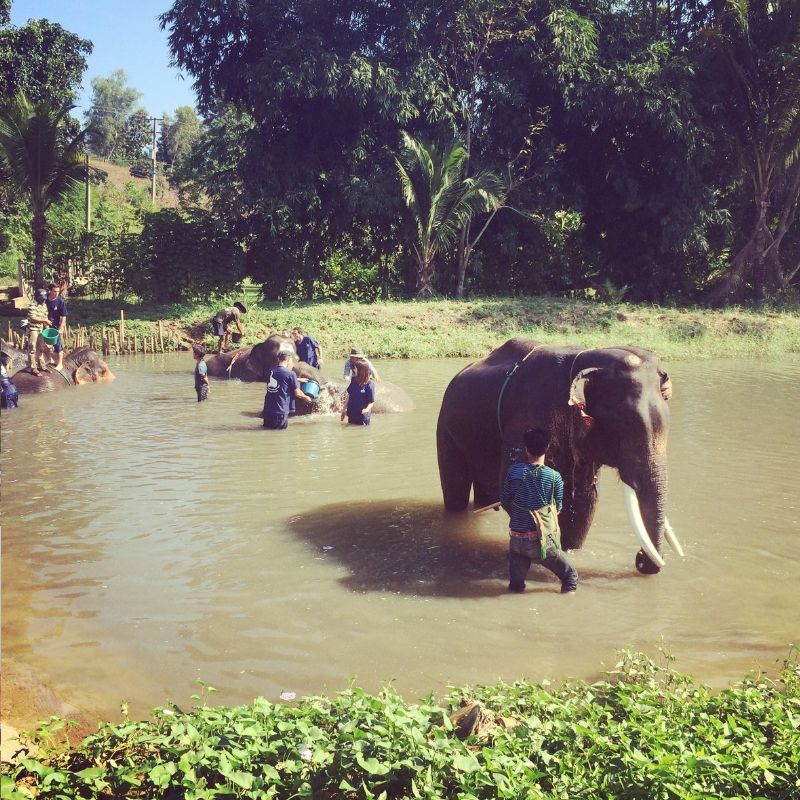 group of elephants being bathed by tourists at an elephant sanctuary in chiang am