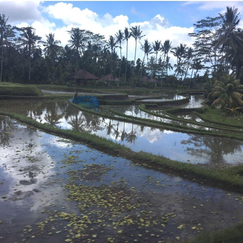 paddy fields in ubud, bali