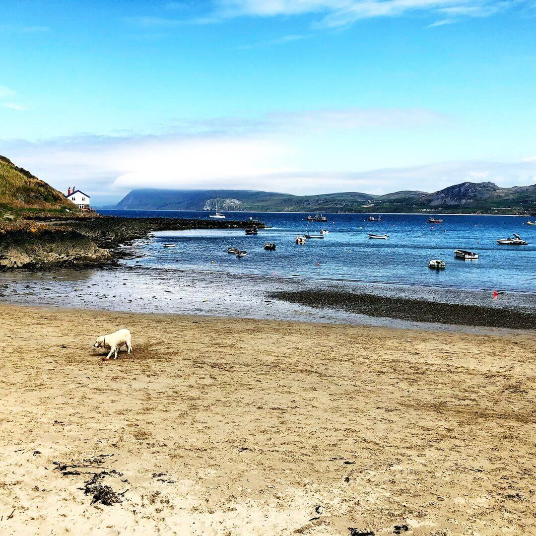 golden labrador on a beach in the llyn peninsular