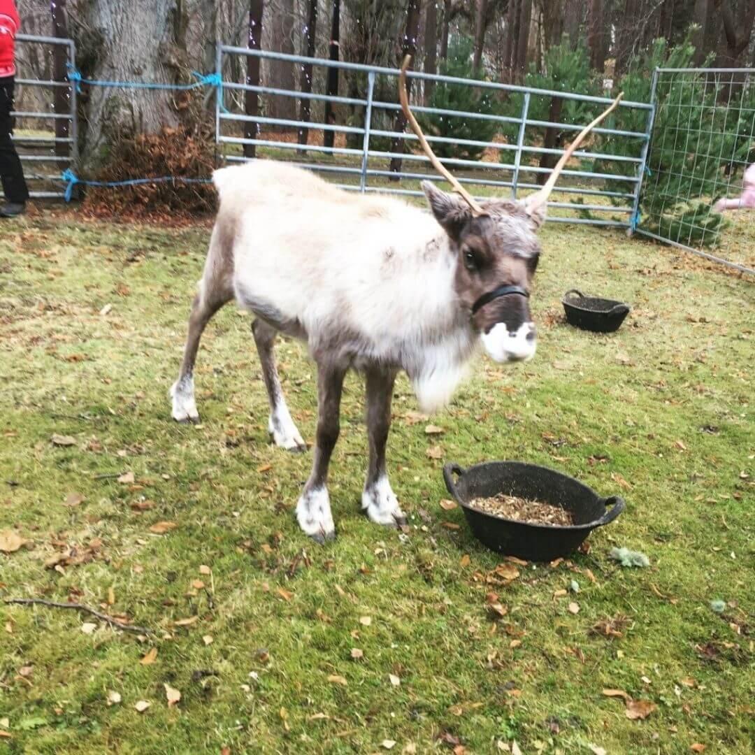 Meeting The Reindeers At The Macdonald Aviemore Hotel