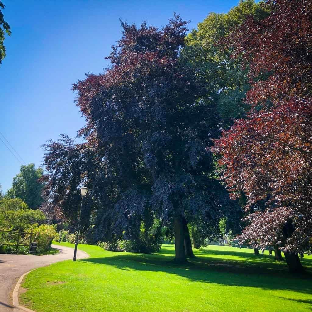 Large Purple Beech Tree In Beacon Park