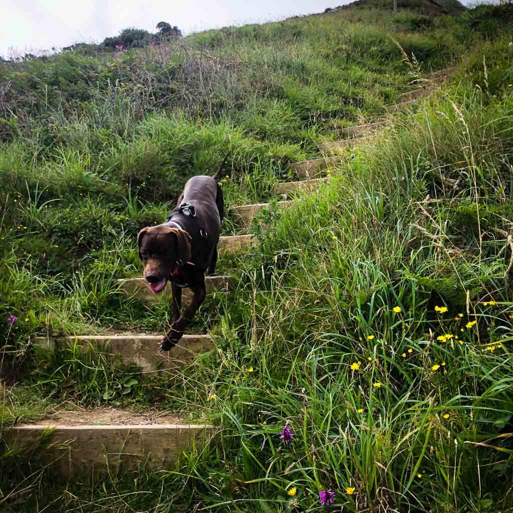 Dog Going Down Steps On Cornish Coast Path