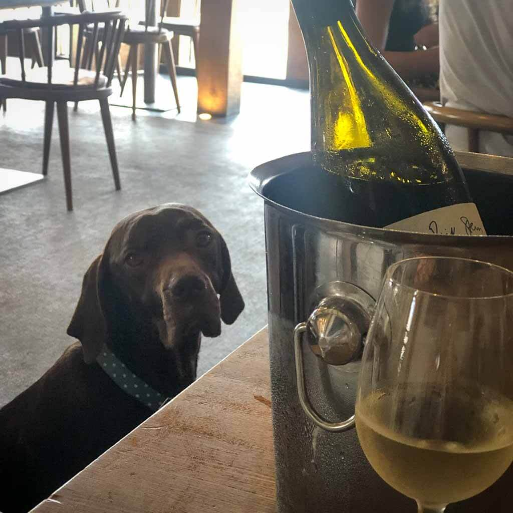 brown dog in restaurant looking behind a bottle of wine