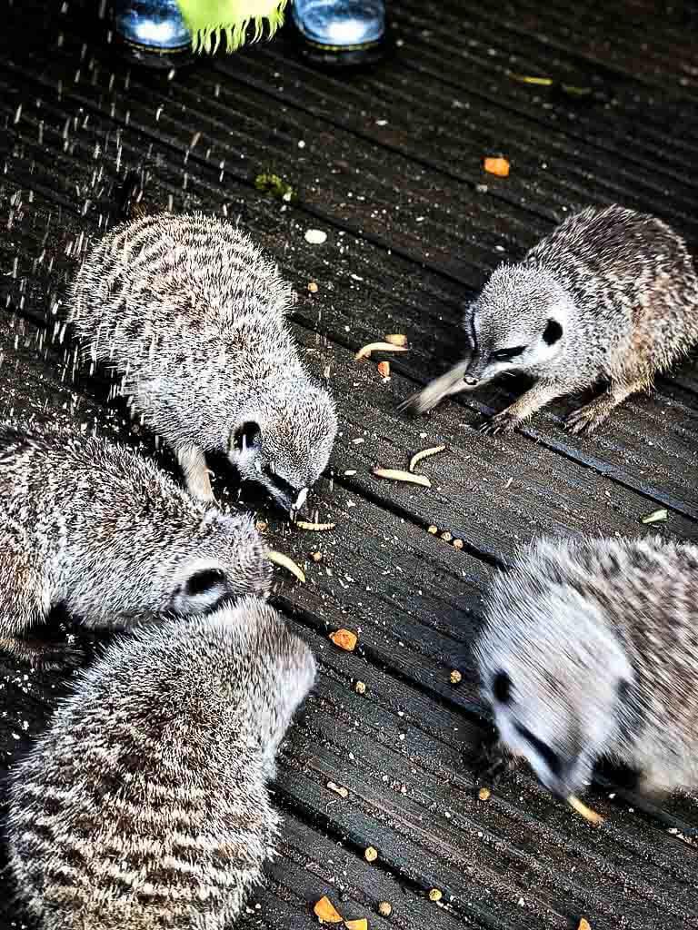 group of meerkats scrabbling for food