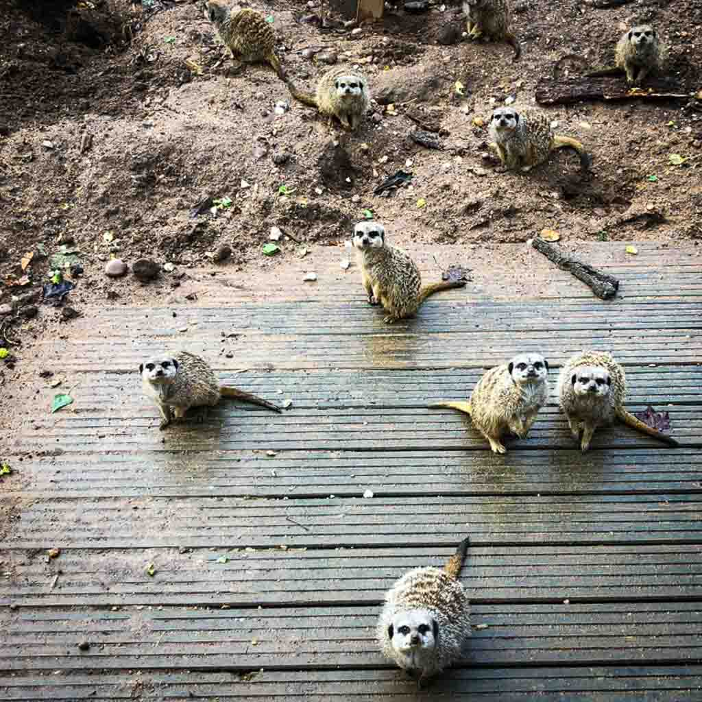 Meerkats Looking Up At The Camera