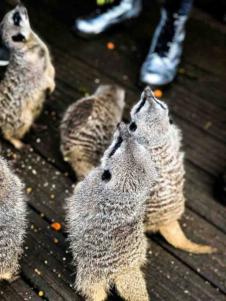 meerkats stood up waiting to be fed
