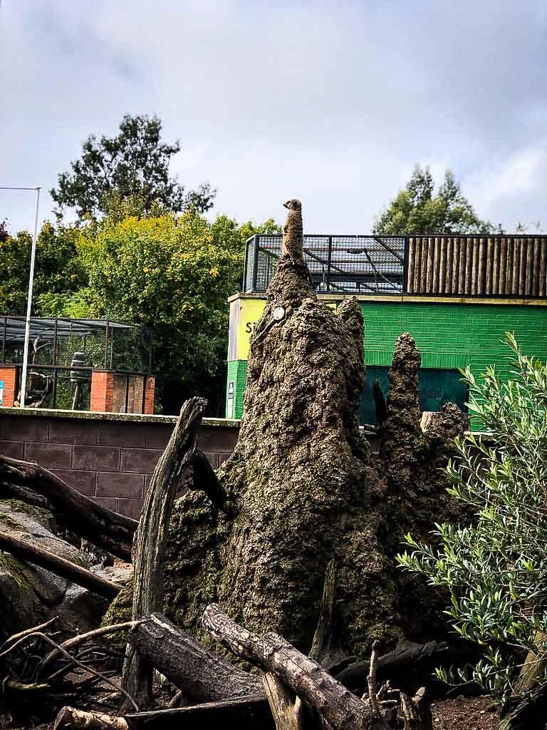 Meerkat Standing Guard At Twycross Zoo