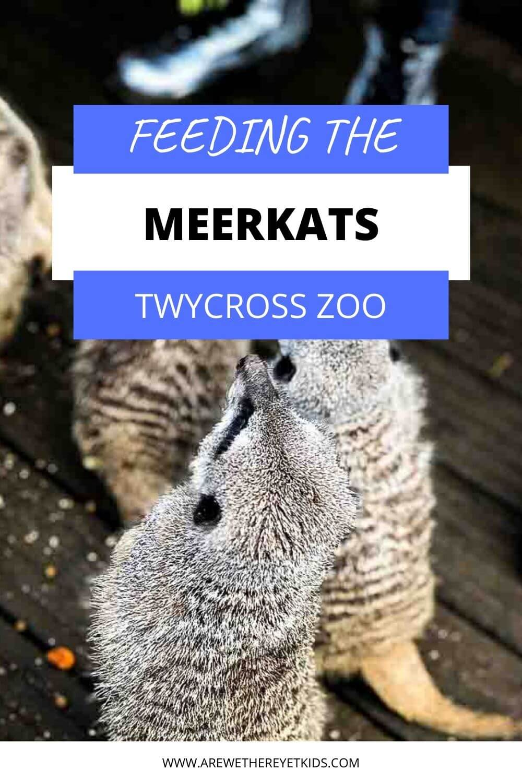 feeding the meerkats pin