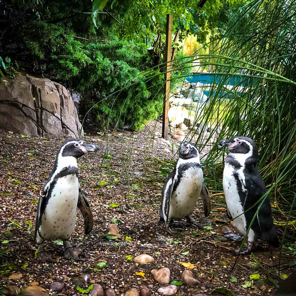 group of three penguins
