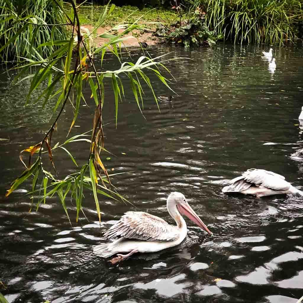 Pelican In A Leafy Lake