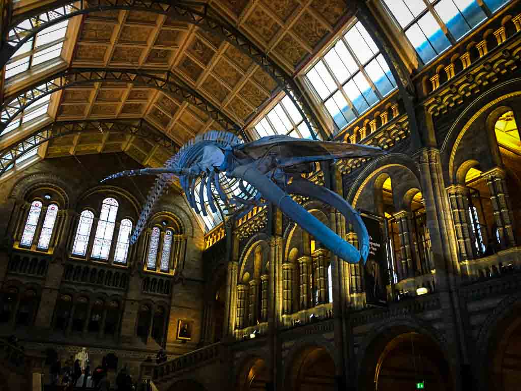 hanging whale skeleton at the natural history museum in london