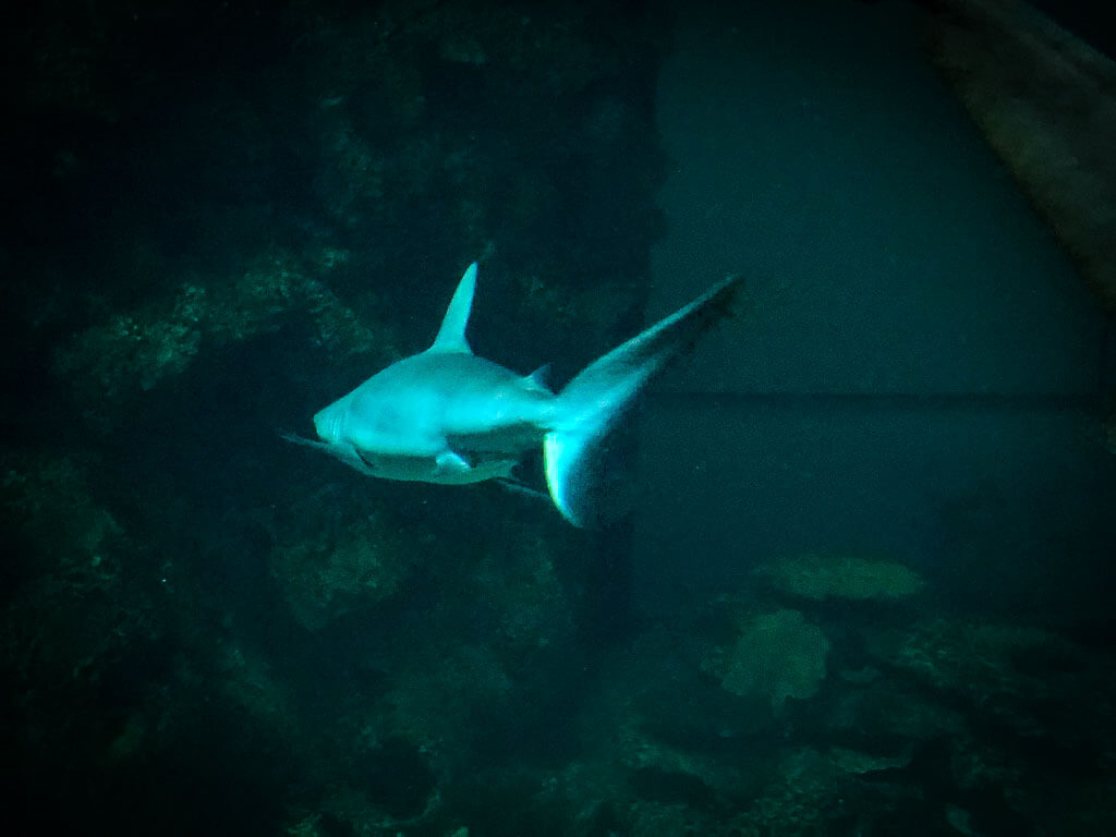 shark swimming away from camera in dark water at shark reef aquarium