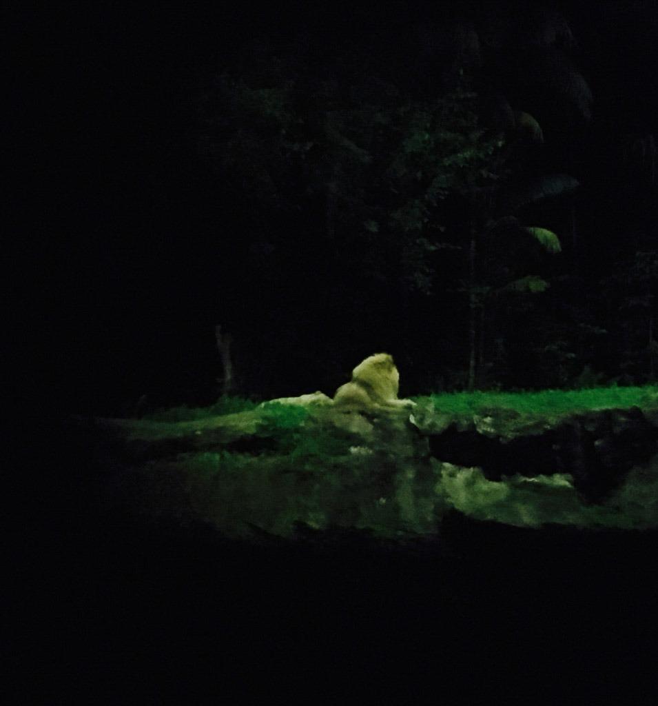 lion in the dark at singapor night safari